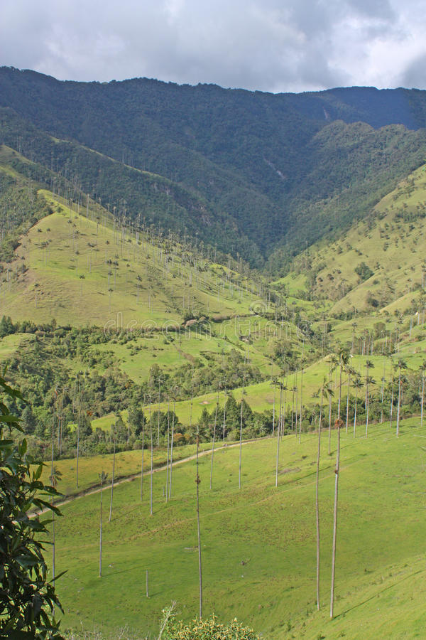 环境美化在与蜡榈的Cocora谷,在mounta之间 库存图片
