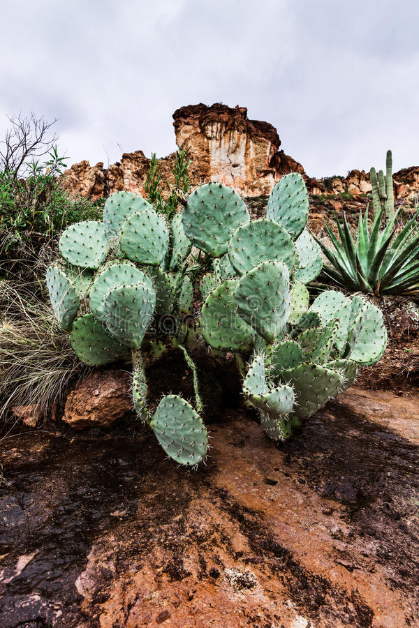 环境美化用仙人掌在亚利桑那,美国的沙漠 库存图片