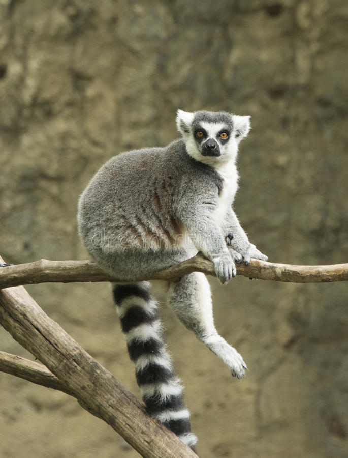 环纹尾的狐猴在动物园里 库存照片