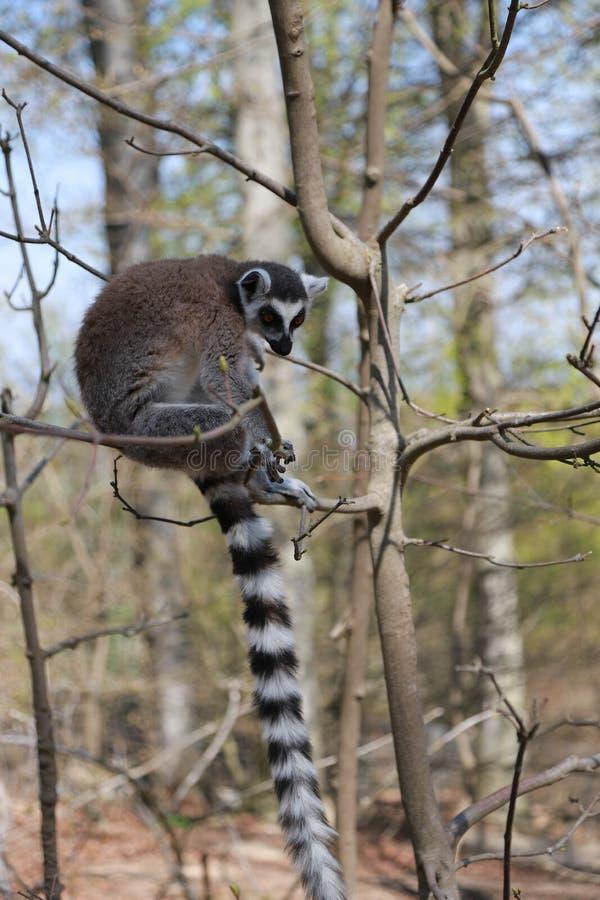 环纹尾的狐猴在树单独坐 免版税库存照片