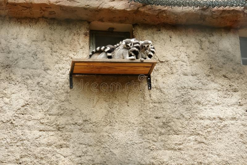 环纹尾的狐猴坐架子靠近栖所在动物园 库存图片