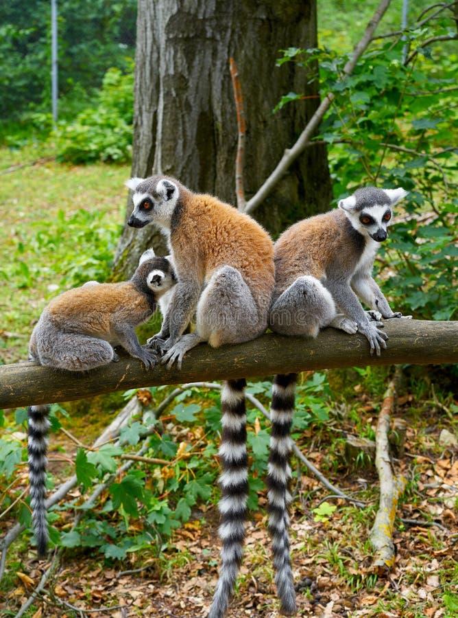 环纹尾的狐猴室外森林 免版税库存图片
