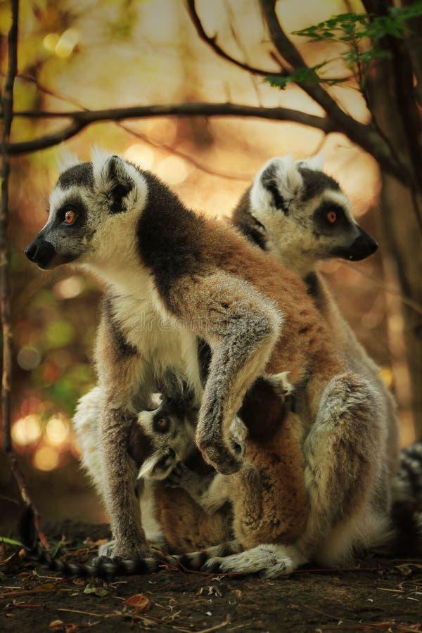 环纹尾的狐猴家庭,马达加斯加海岛 库存图片