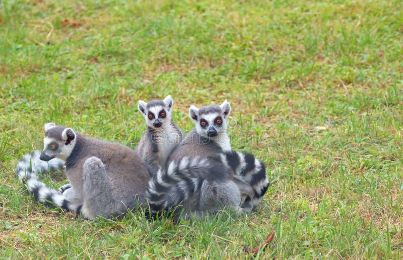 环纹尾的狐猴狐猴catta 免版税库存图片