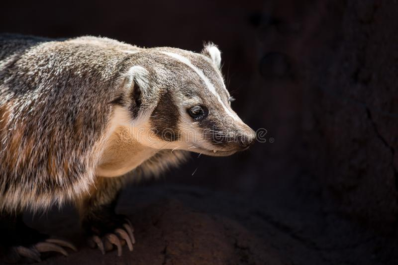 环纹尾的狐猴画象有黑背景 免版税库存照片