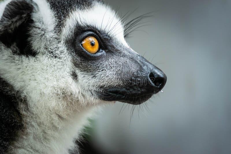环纹尾的狐猴画象  免版税库存照片