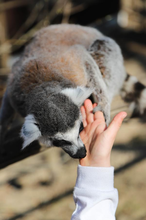 环纹尾的狐猴舔孩子的手 免版税库存照片