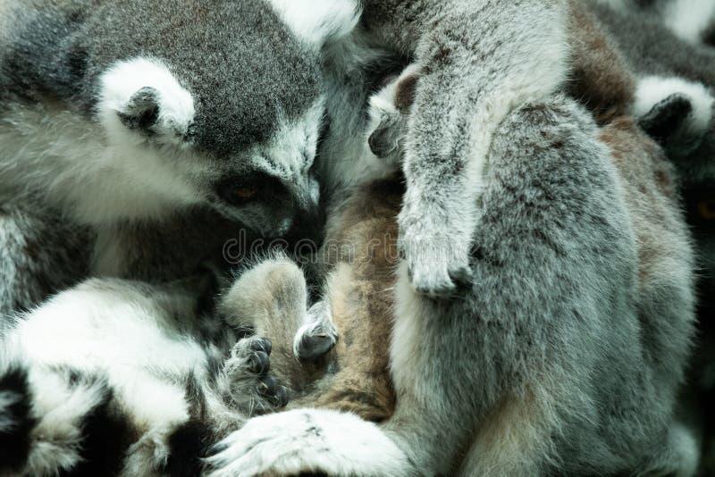 环纹尾的狐猴被负担在布里斯托尔动物园,英国 免版税图库摄影