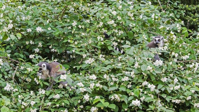 环纹尾的狐猴,狐猴catta,在开花树春天 免版税库存照片
