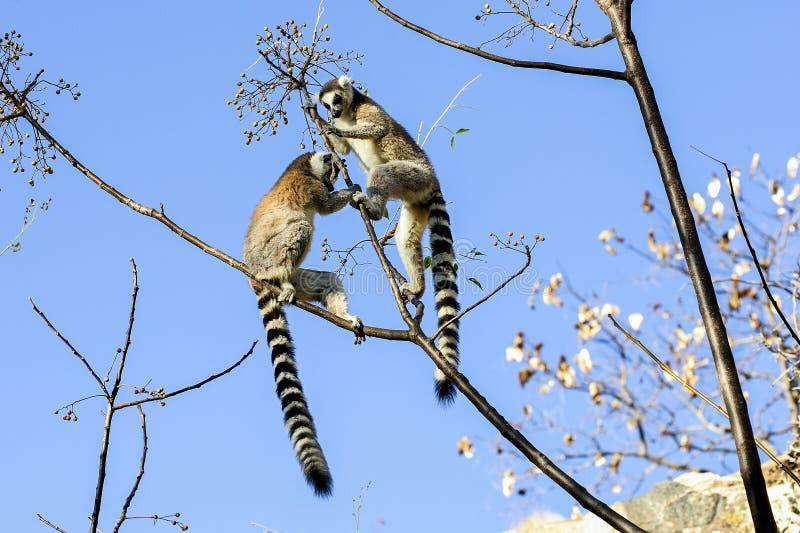 环纹尾的狐猴,狐猴catta, anja 图库摄影