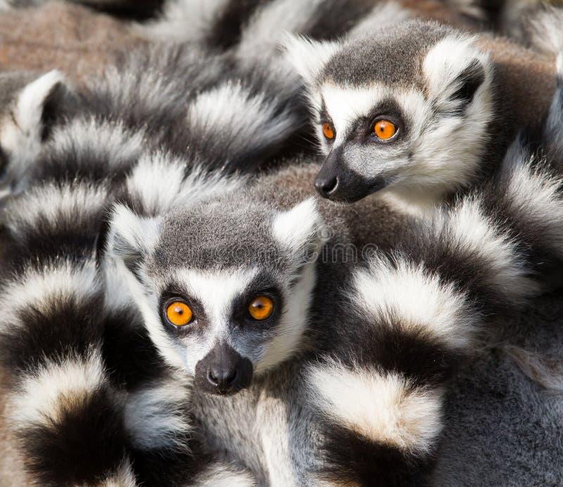 环纹尾的狐猴(狐猴catta)挤作一团 免版税库存图片