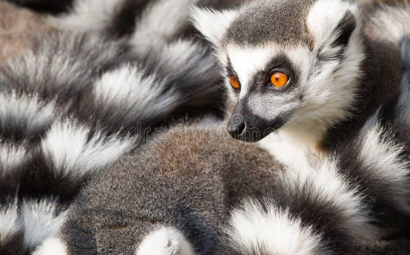环纹尾的狐猴(狐猴catta)挤作一团 库存照片