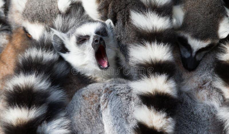 环纹尾的狐猴(狐猴catta)挤作一团 库存图片