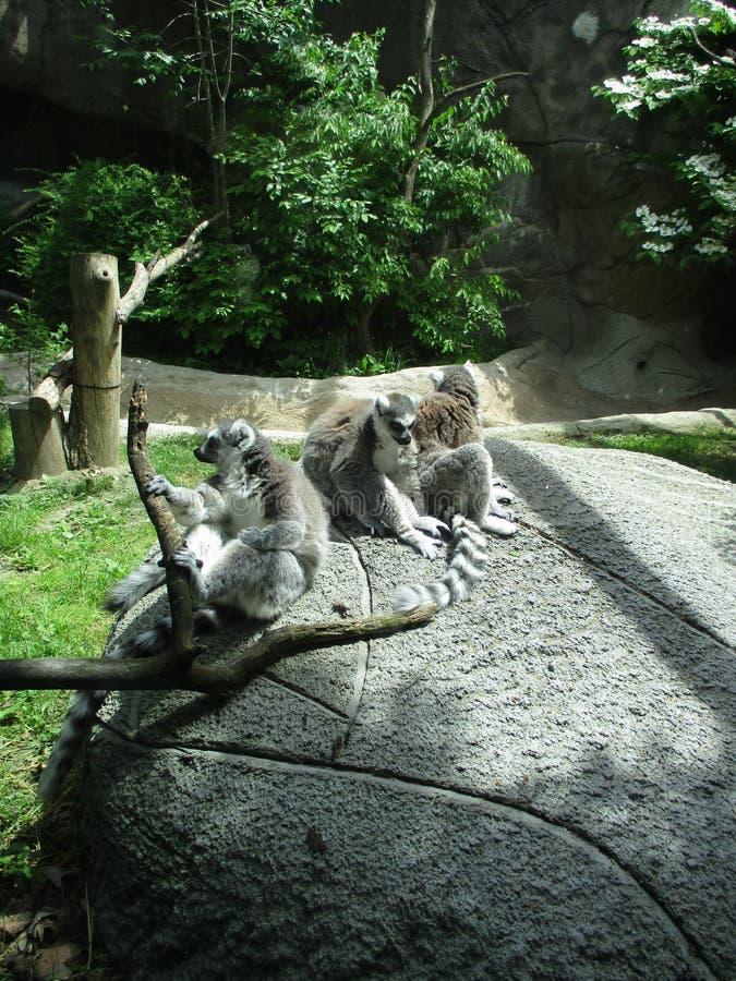环纹尾的狐猴 免版税库存图片