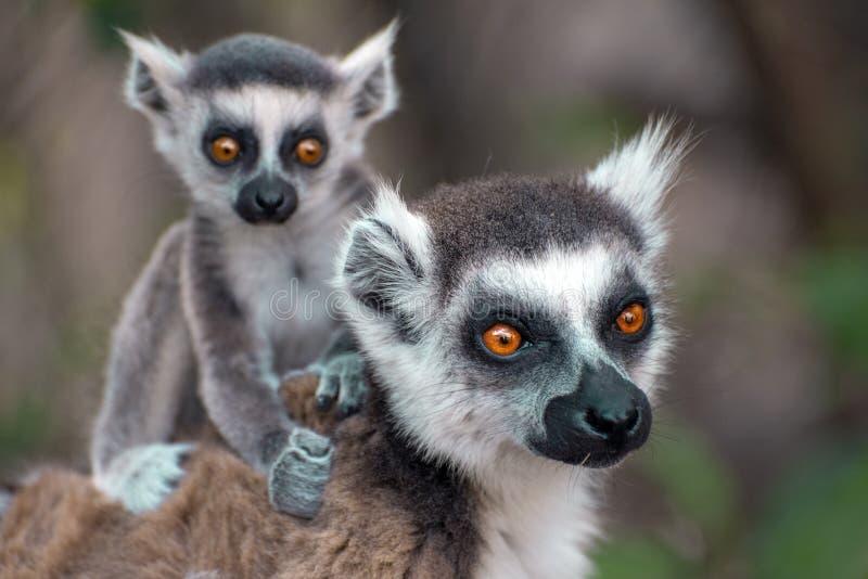 环纹尾的狐猴kata,关闭环纹尾的狐猴婴孩和母亲,哺乳她的婴孩的母亲 免版税图库摄影