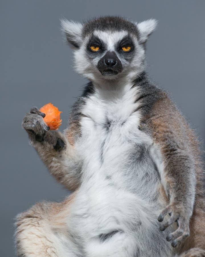 环纹尾的狐猴和午餐 库存照片