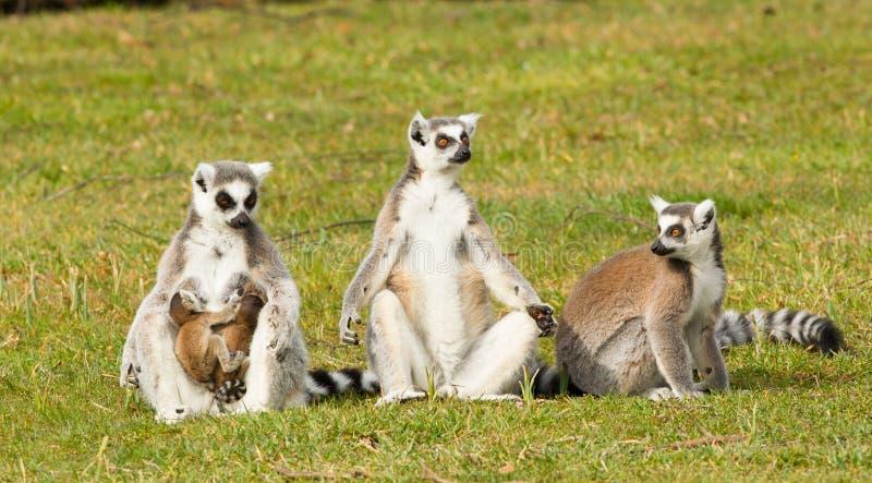 环纹尾的狐猴家庭 库存图片