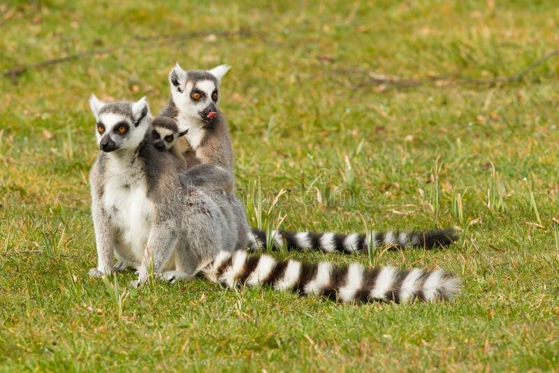 环纹尾的狐猴家庭 库存照片