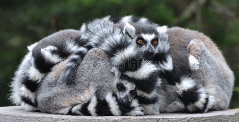 环纹尾的狐猴家庭 图库摄影