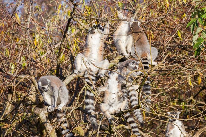 环纹尾的狐猴狐猴catta,在树的小组 库存照片
