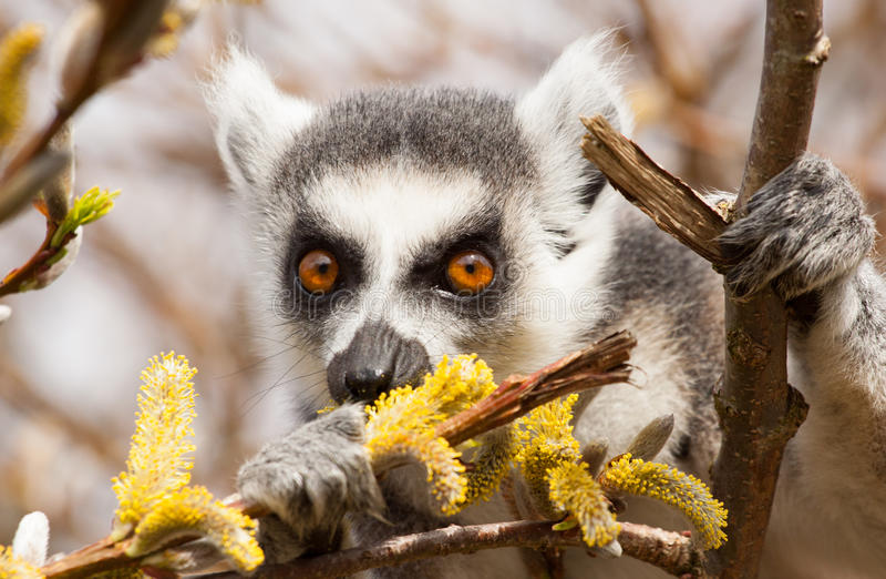 环纹尾的狐猴(狐猴catta)吃 免版税库存图片