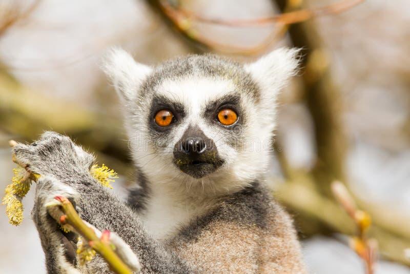 环纹尾的狐猴(狐猴catta)吃 免版税库存照片