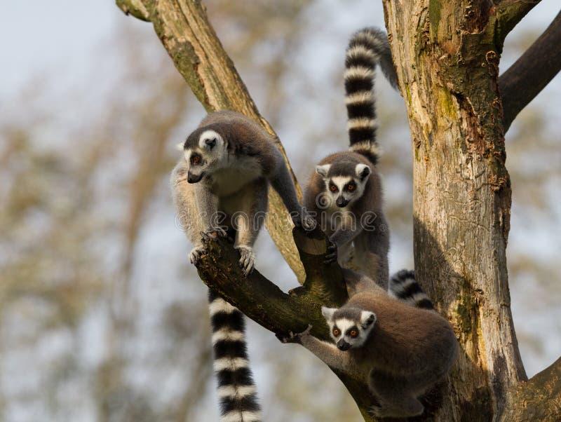 环纹尾的狐猴(狐猴catta)在树 免版税库存照片