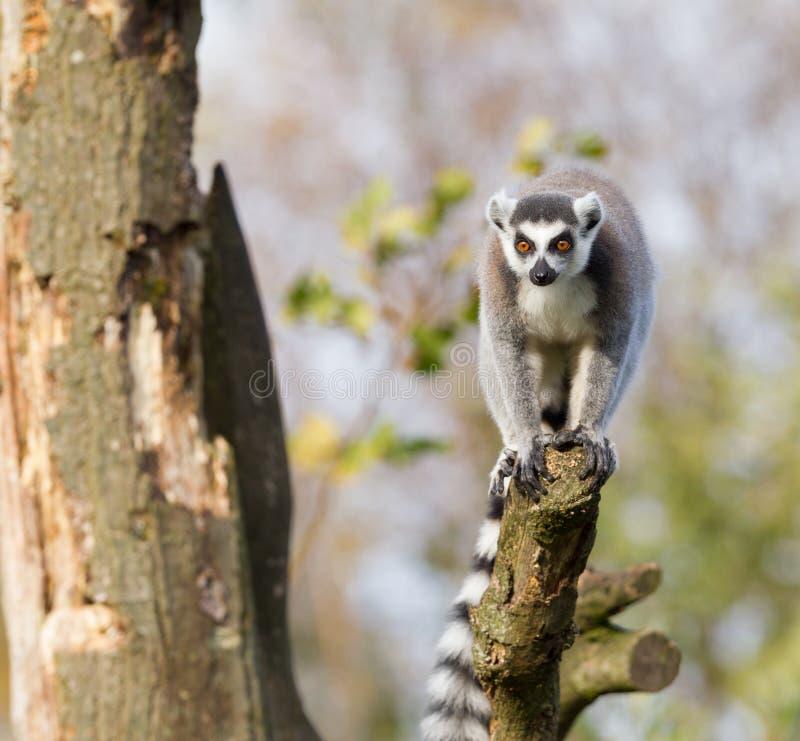 环纹尾的狐猴(狐猴catta)在树 库存图片