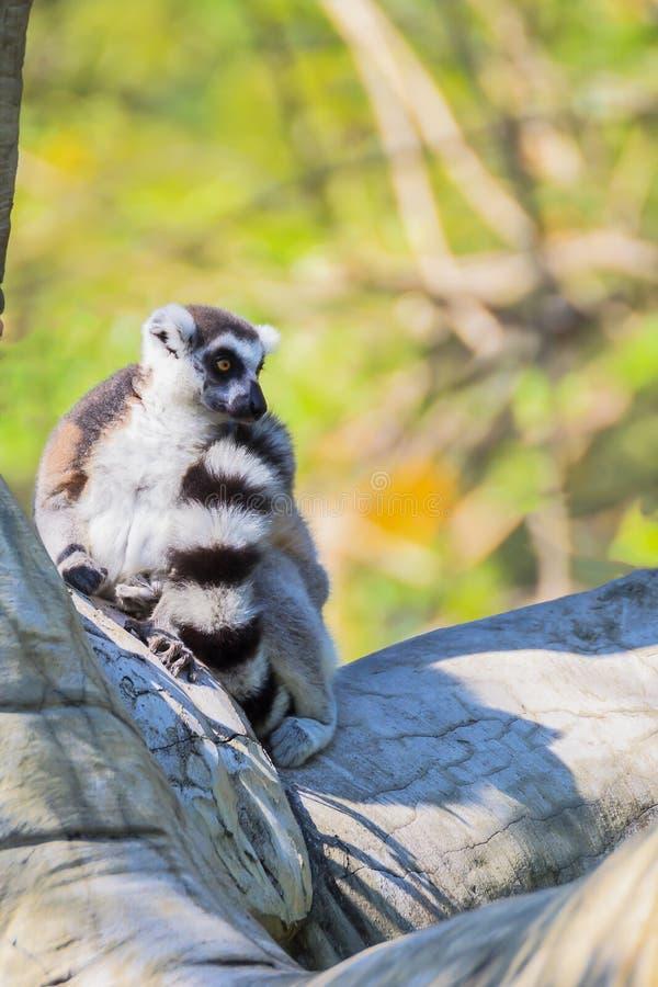 环纹尾的狐猴(狐猴catta)坐树 库存图片