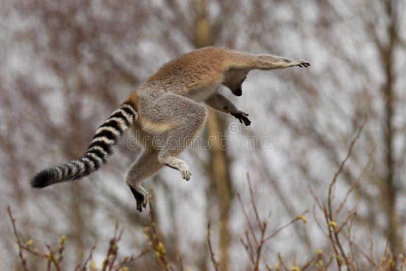 环纹尾的狐猴(狐猴catta)跳跃 免版税图库摄影