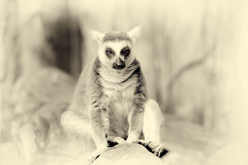 环纹尾的狐猴 葡萄酒作用 免版税库存照片