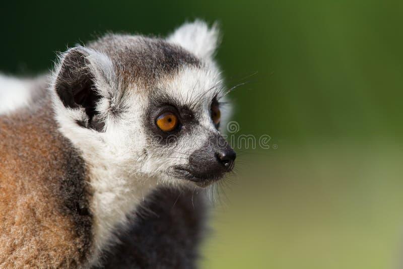 年轻环纹尾的狐猴画象 库存图片