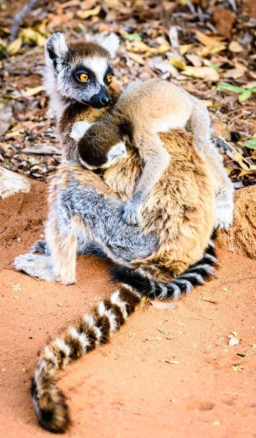 环纹尾的狐猴运载的疲乏的婴孩 图库摄影
