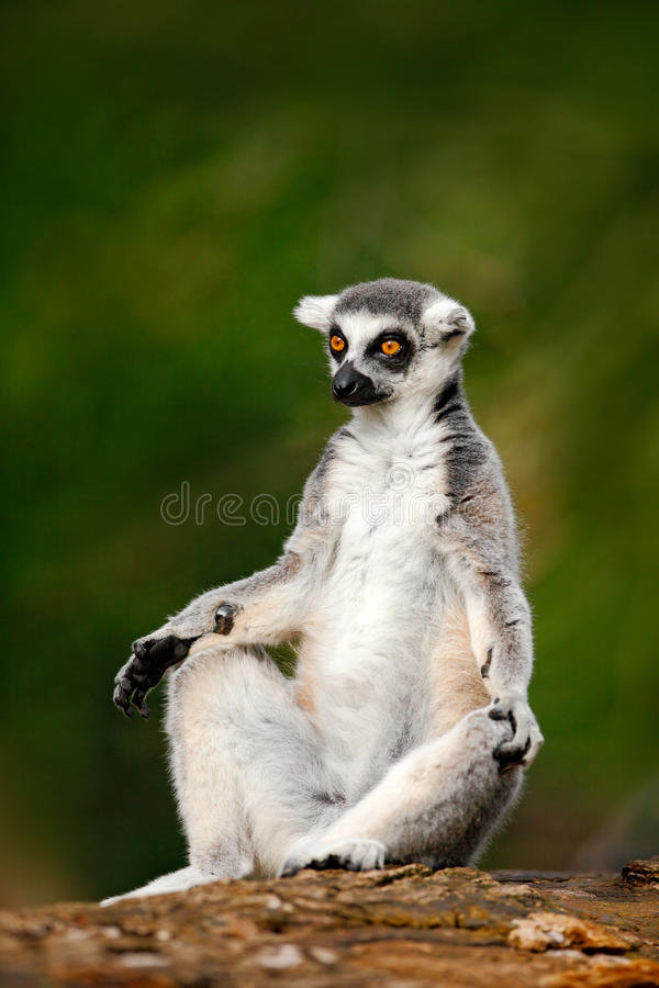 环纹尾的狐猴,狐猴catta,有绿色清楚的背景 大strepsirrhine大主教在自然栖所 从M的逗人喜爱的动物 库存图片