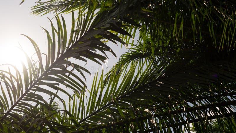 现出轮廓与太阳光的棕榈叶分支树本质上背景的 库存图片