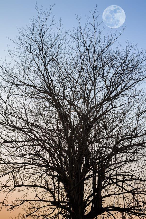 现出轮廓树分支与阳光的与满月和阳光 免版税库存图片