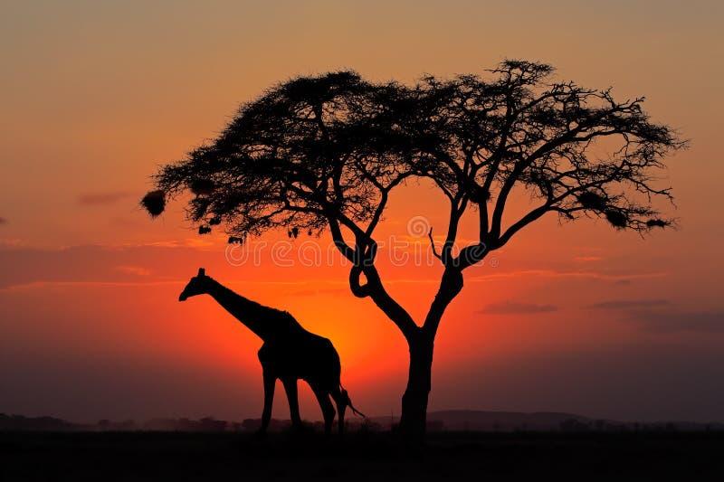 现出轮廓的树和长颈鹿 免版税库存照片