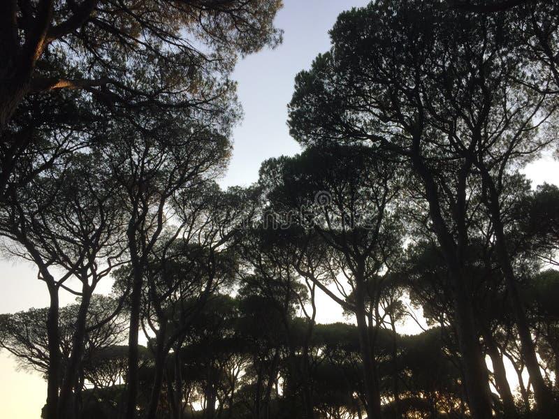 现出轮廓的树梢 免版税库存图片