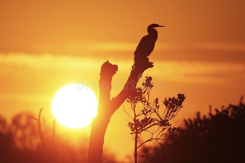 现出轮廓的美洲蛇鸟 免版税库存照片