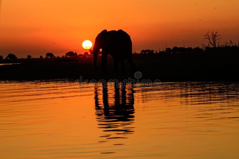 现出轮廓的非洲大象和阴影在水中反射了 库存照片