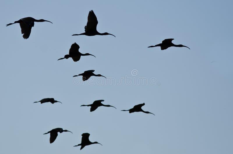 现出轮廓的面无血色的朱鹭飞行群在蓝天的 库存照片