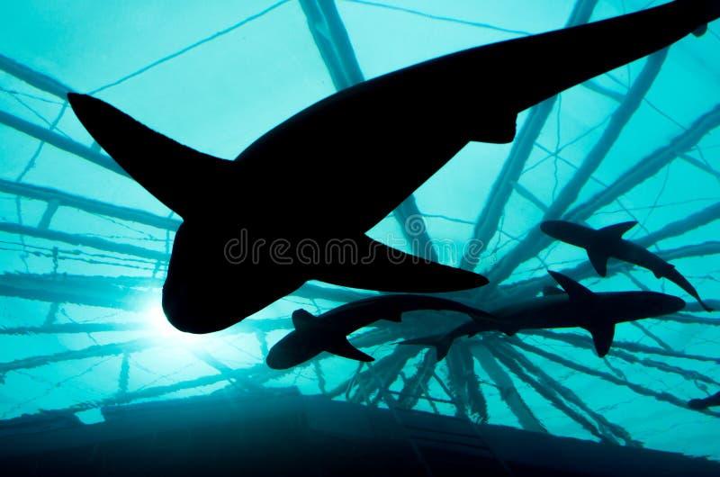 现出轮廓的鲨鱼 图库摄影