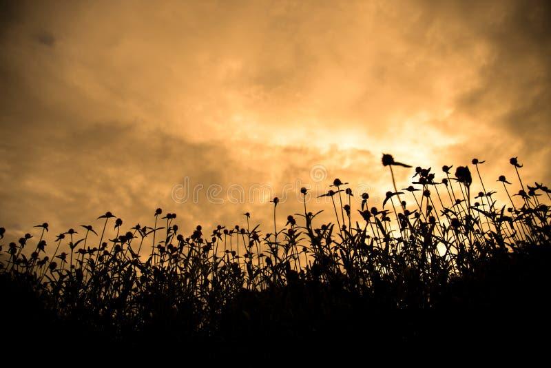 现出轮廓临近与金黄天空的花田日落 免版税库存照片
