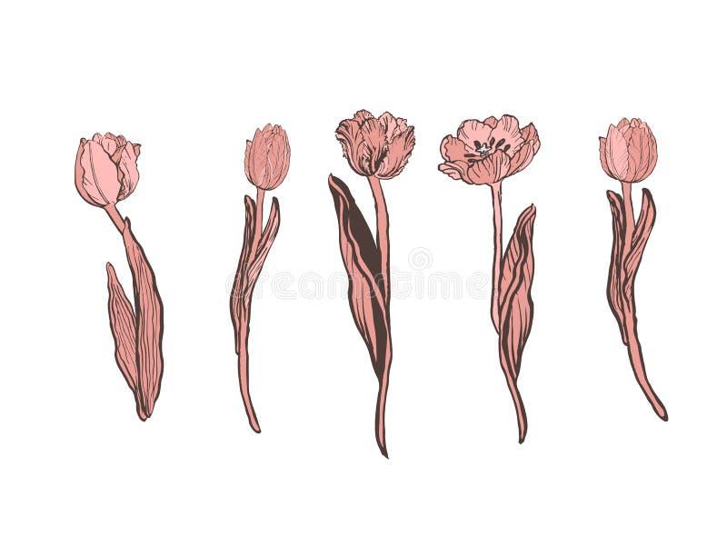 现实传染媒介郁金香集合 不是踪影 您的设计的空白 在白色背景的桃红色郁金香花 皇族释放例证