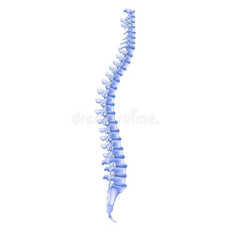 现实例证去骨外形人的脊椎 皇族释放例证