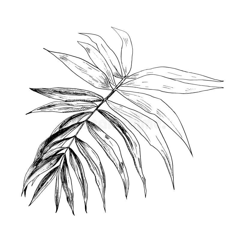现实手rawn的传染媒介例证在墨水热带异乎寻常的棕榈树的在白色背景离开 唯一的分行 库存例证
