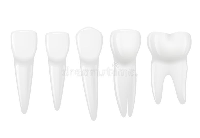 现实牙的类型 有根的,槽牙,前臼齿,犬各种各样的人的牙 也corel凹道例证向量 库存例证