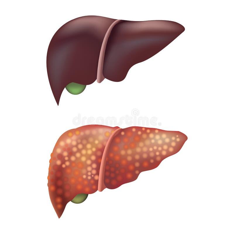 现实详细的3d肝脏人的内脏 向量 库存例证