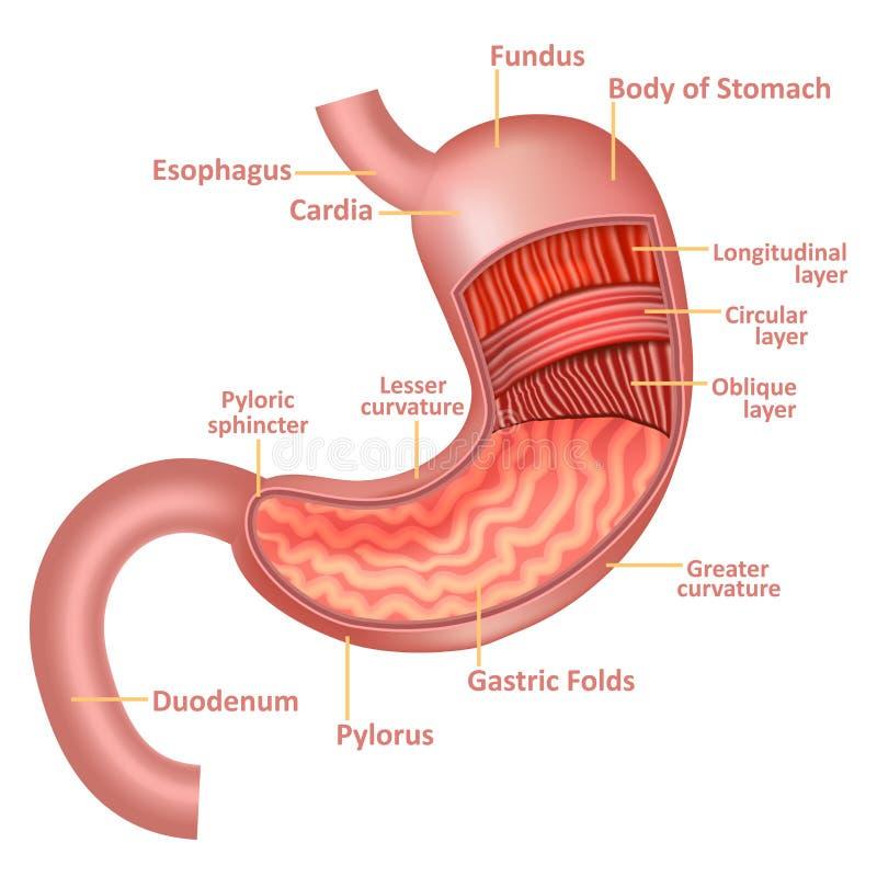 现实详细的3d胃解剖学内脏 向量 库存例证