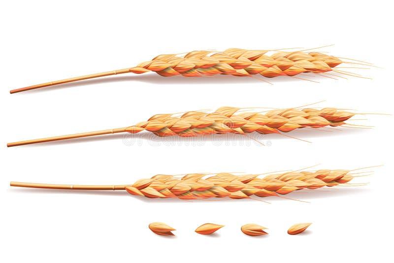 现实麦子、大麦、米或者燕麦元素 在健康食品或农业设计的白色隔绝的大麦 向量 皇族释放例证